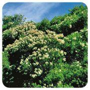 PRANAROM HUILE ESSENTIELLE DE TEA TREE 10 ML